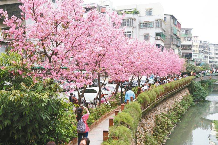 【新聞】土城希望之河櫻花開 遊客滿滿滿