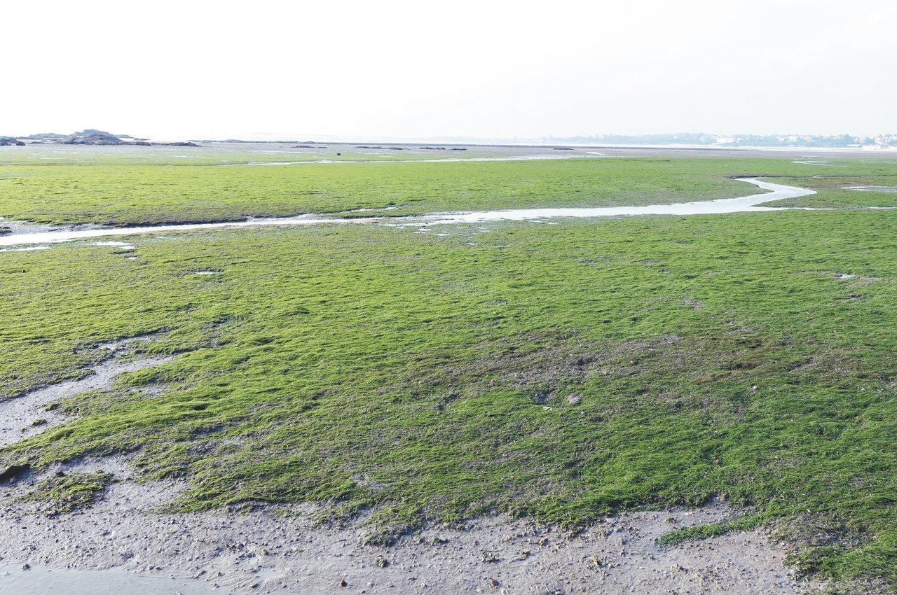 建功嶼左近的潮間帶海藻生長繁茂。 記者邱雯敏/攝影