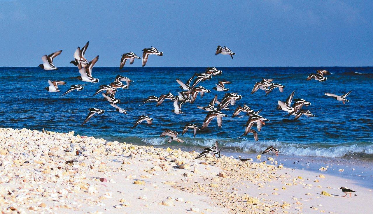 成群候鳥每到春夏之際,會飛到太平島覓食。 圖/侯建安提供