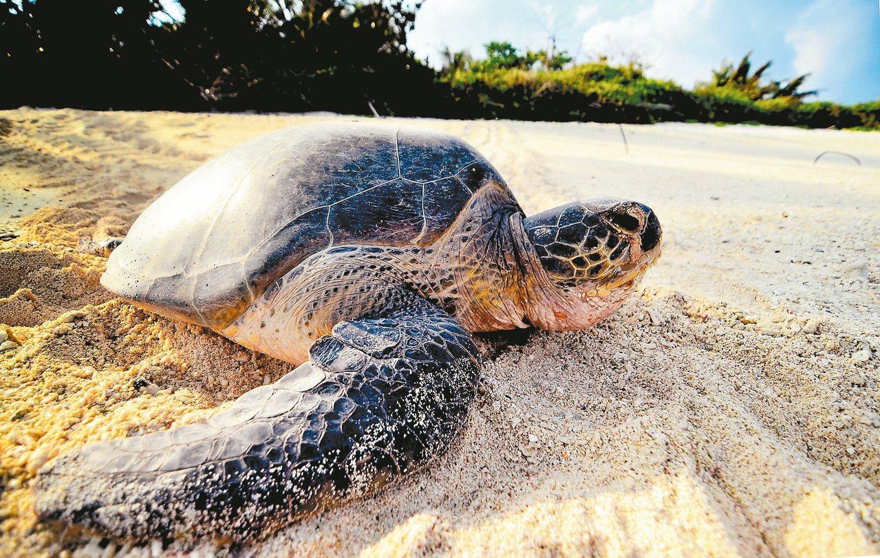 綠蠵龜愜意的游上岸。 圖/侯建安提供