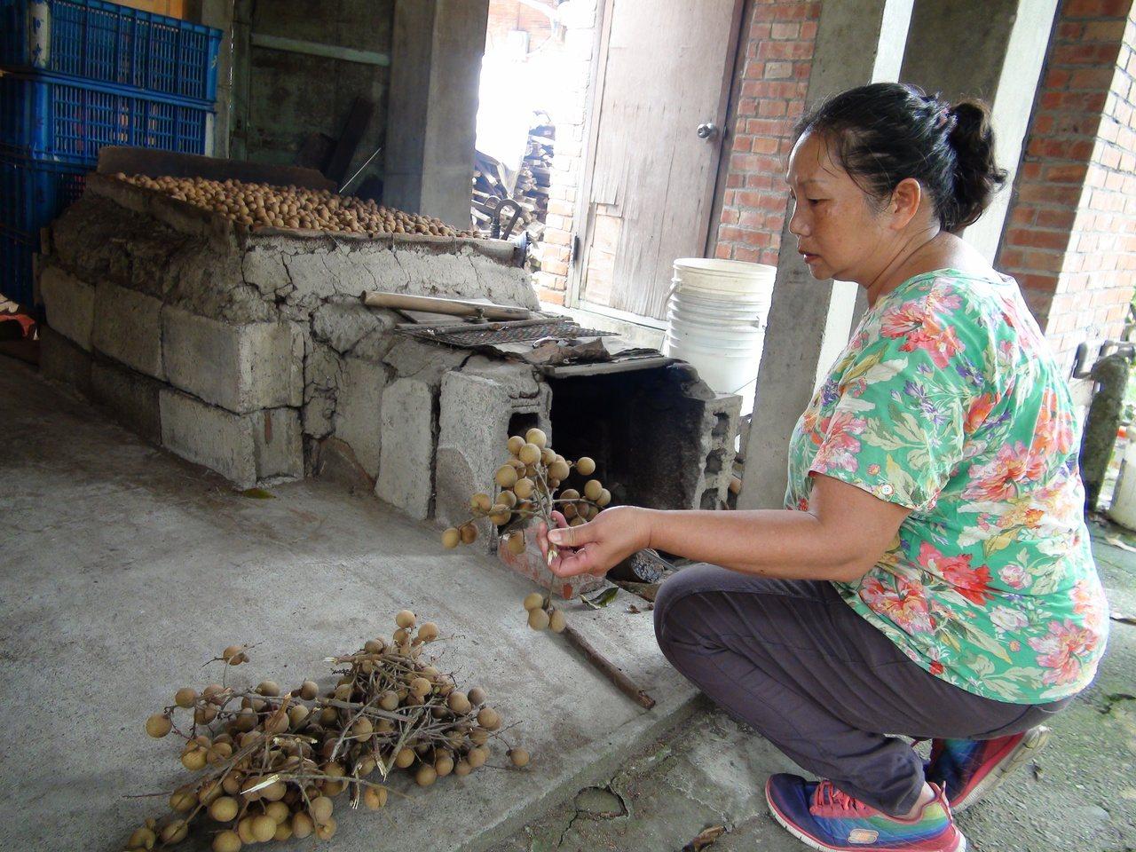 今年受到氣候影響,龍眼大幅減產,雲林縣斗六市湖山社區以柴燒烘焙的龍眼乾,不得已暫...