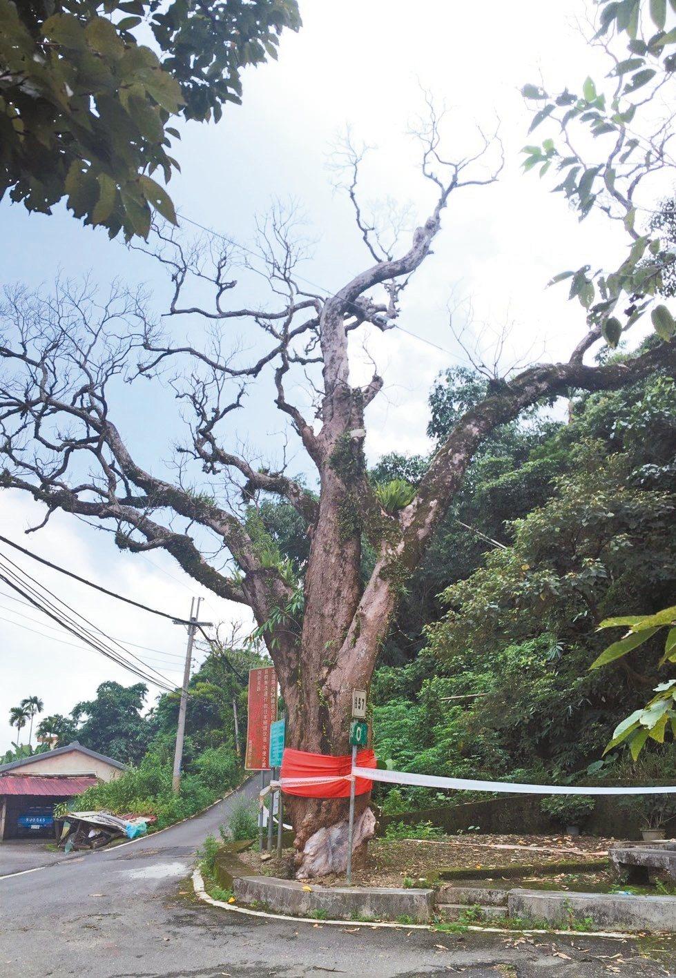 樹齡超過400歲的竹山鎮瑞竹老芒果樹,昨天經台大樹醫蕭文偉檢視後宣告已死。 圖/...