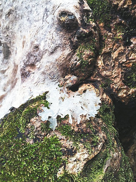 樹齡超過400歲的竹山鎮瑞竹老芒果樹,長出腐菌白木耳,昨天經台大樹醫蕭文偉檢視後...