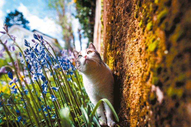 格格原本是隻流浪貓,被Mojito房東太太領養,現在成為她部落格中的人氣王。 圖...
