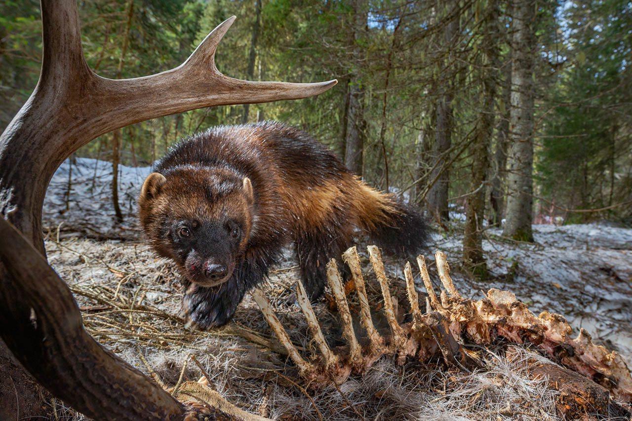 蒙大拿天鹅谷的一只狼獾,在享用鹿尸时触发了自动相机,全部感官都处于警戒状态。这些...