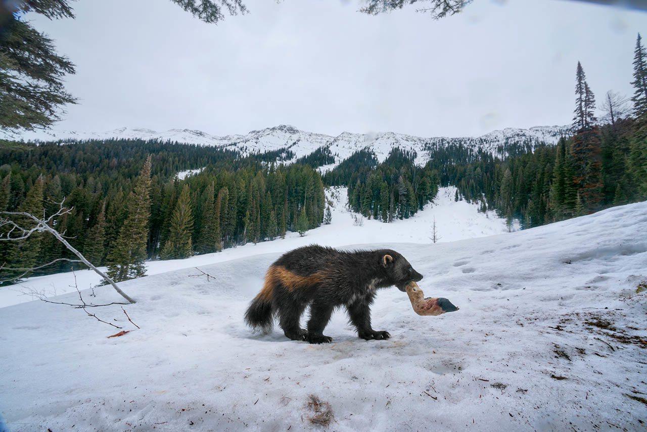 狼獾对饮食不如对生存环境那般挑剔。啮齿类、鸟类与较大型的哺乳动物是牠们偏 好的猎...