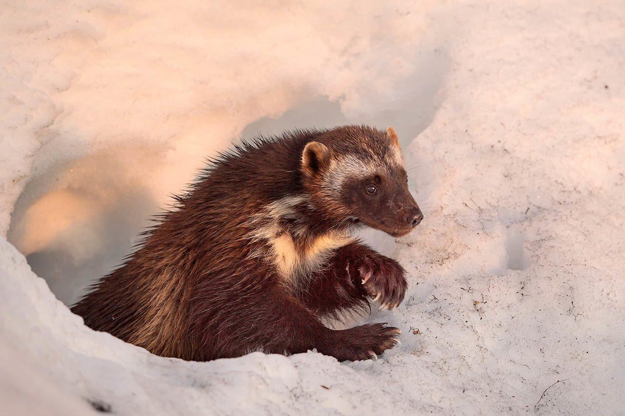 长著弯曲利爪大脚掌的狼獾会不停寻找食物,一次又一次地在分布达数百平方公里的崎岖地...