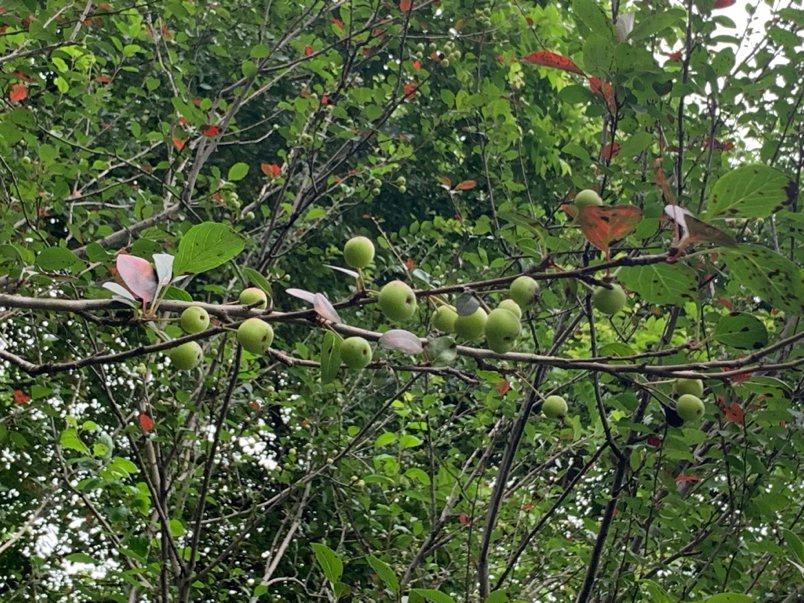 七月,满树桃子的桃树,果子成熟时,大家都可以摘来吃,听说前面几颗的早已摘光,要免费的没有施药的自然手成桃子,得天天来,才有机会吃得到