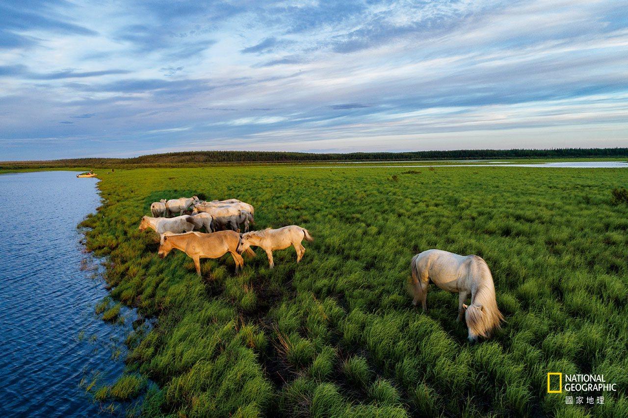 齐默夫父子相信,冰期的大型草食动物有助维持丰饶的北极草原,部分原因是为草原施了肥...