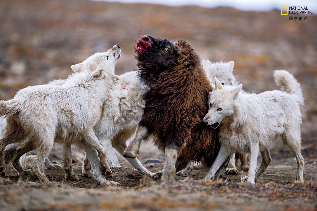 这只年轻麝牛对抗狼群20分钟后,还是倒下了。独眼龙(最左)使劲咬住小麝牛的鼻子,...