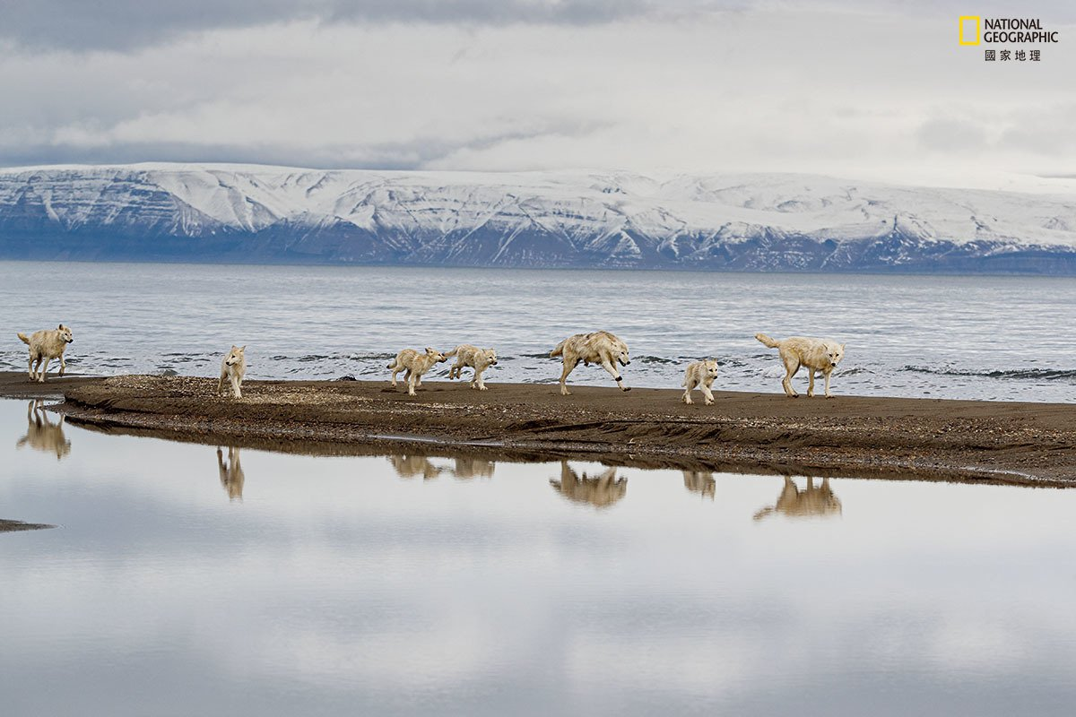 这群急于寻找猎物的狼,走遍了格里利峡湾寻找麝牛与北极兔。峡湾在冬天结冰后,牠们的...