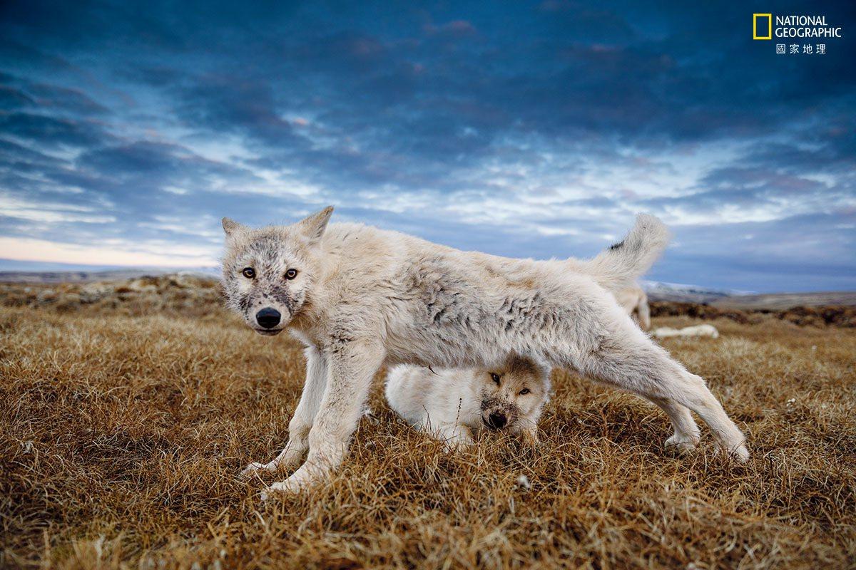 9月暮色中,在享用新鲜麝牛尸体后,这只12周大的狼崽满足地伸展筋骨。这些狼崽现在...