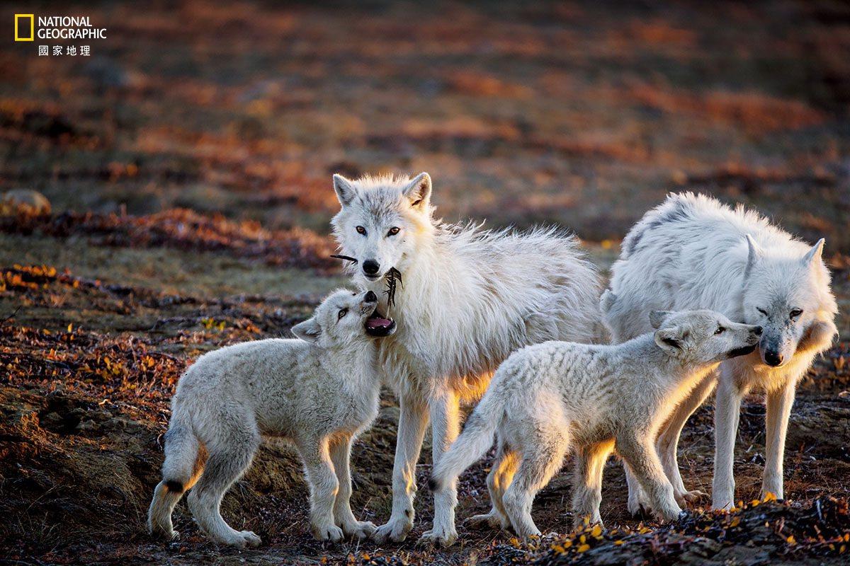 一只狼崽咬了根羽毛,另一只用鼻子蹭著名叫「白围巾」的年迈母狼家长(最右)。在牠参...