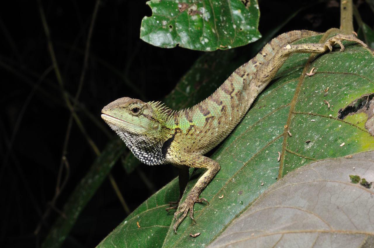 棕背树蜥。© 游崇玮/绿自然