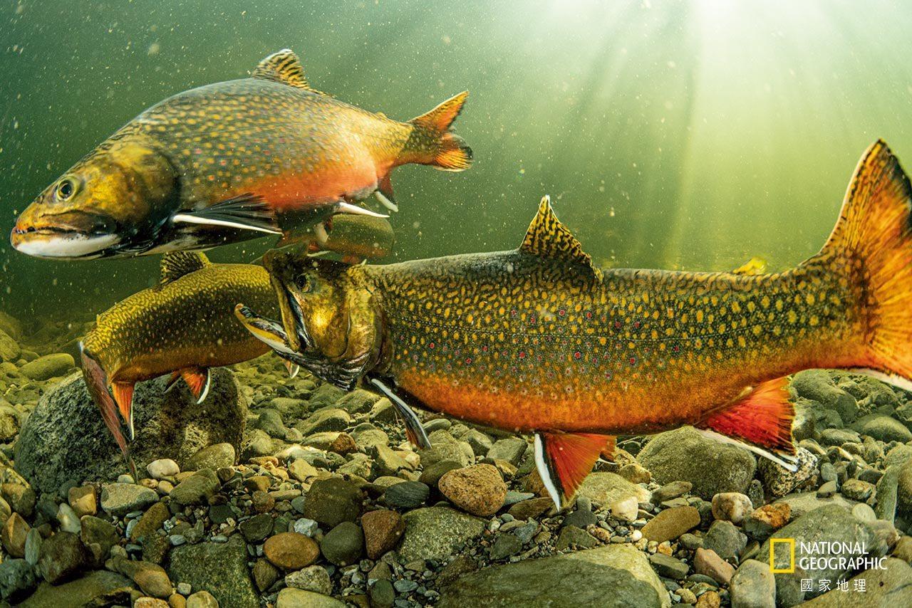 【缅因州,玛格洛威河】 雄美洲红点鲑凶猛地互咬和互撞以取得繁殖优势。 Maine...