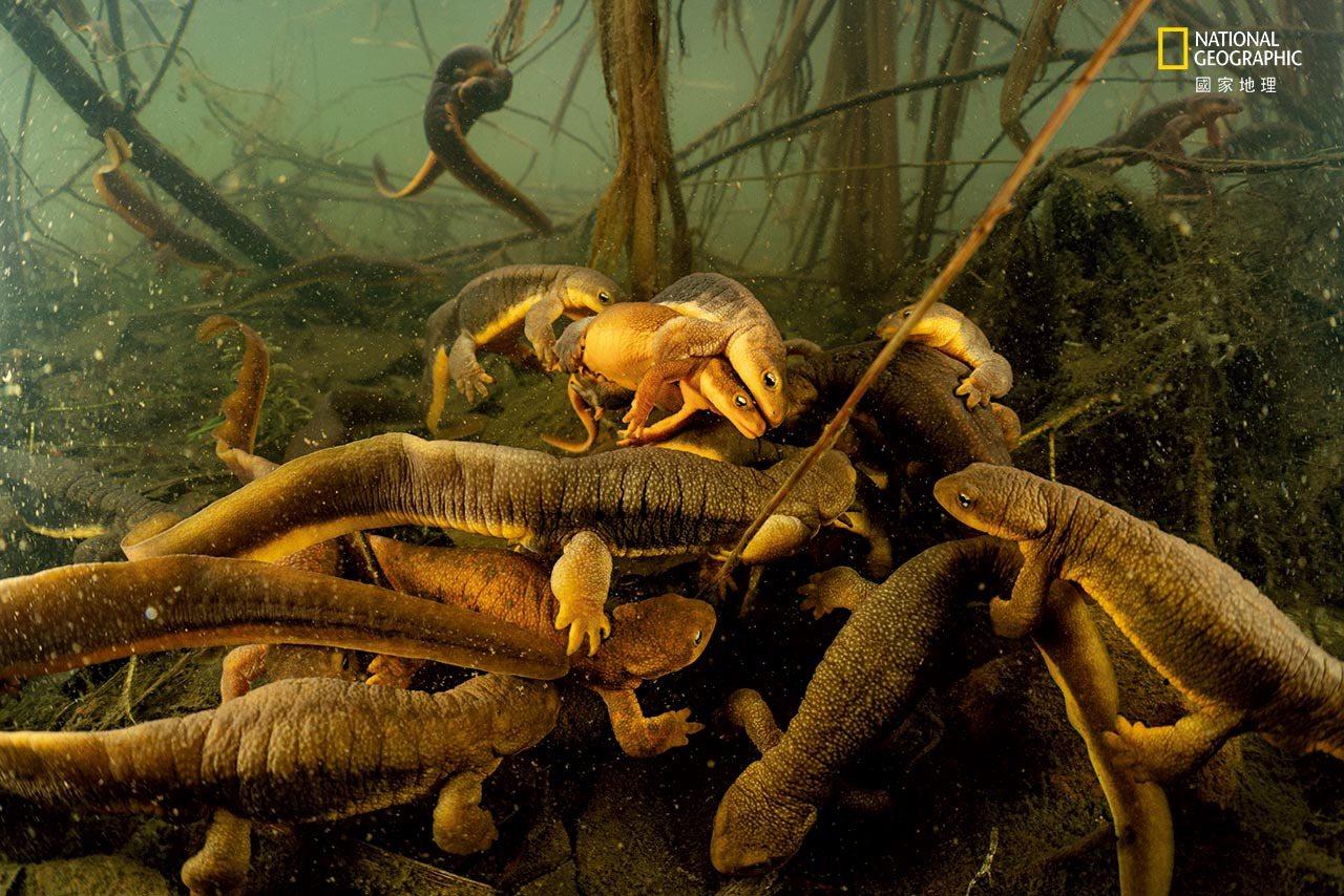 【俄勒冈州,威拉米特河】 成年的粗皮渍螈会从森林迁徙到湿地繁殖。 RoughSk...