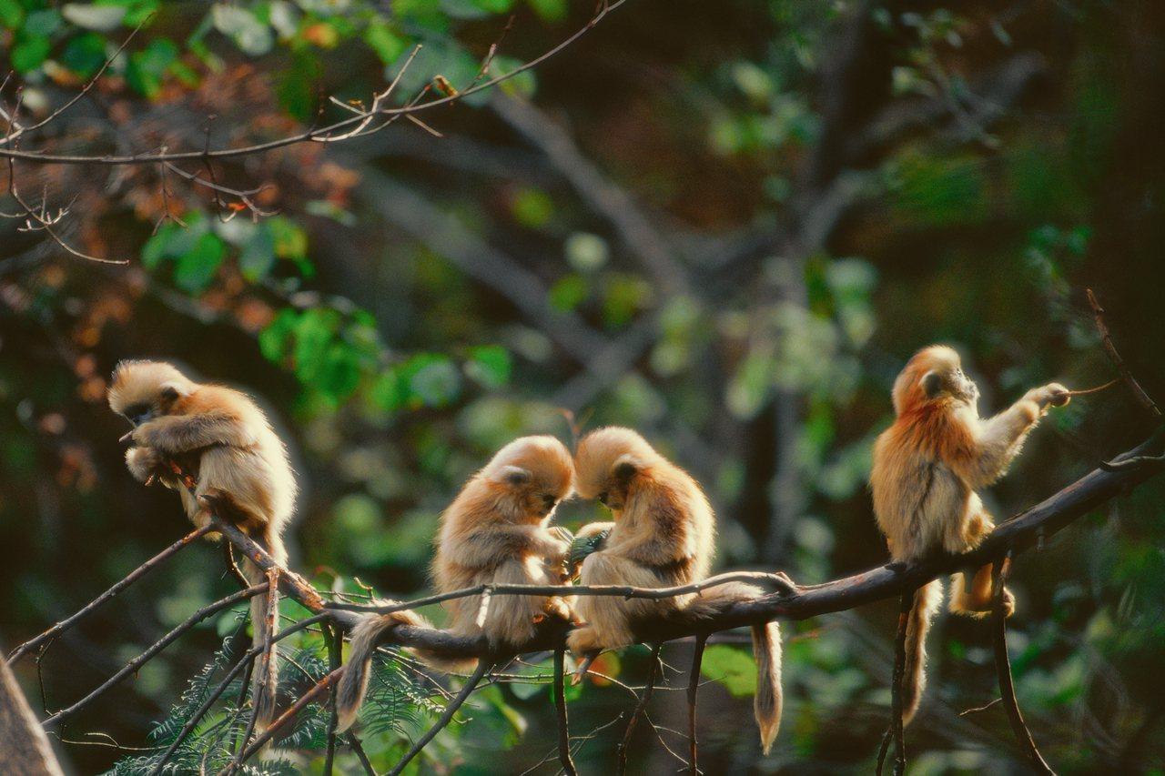 四只小川金丝猴在树上无忧无虑的玩耍著。© 奚志农/野性中国