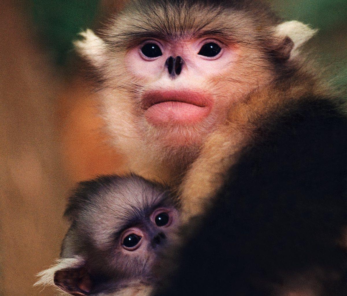 摄于 1995 年的滇金丝猴照片《母与子》。© 奚志农/野性中国