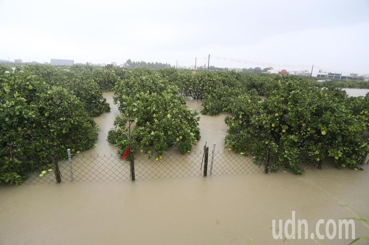 台南市麻豆區即將收成的柚子通通泡在水中損失慘重,農民欲哭無淚。