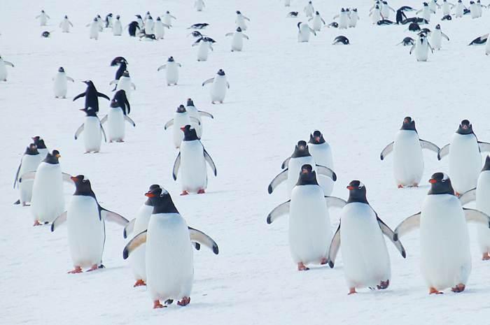 南極大陸的可愛企鵝
