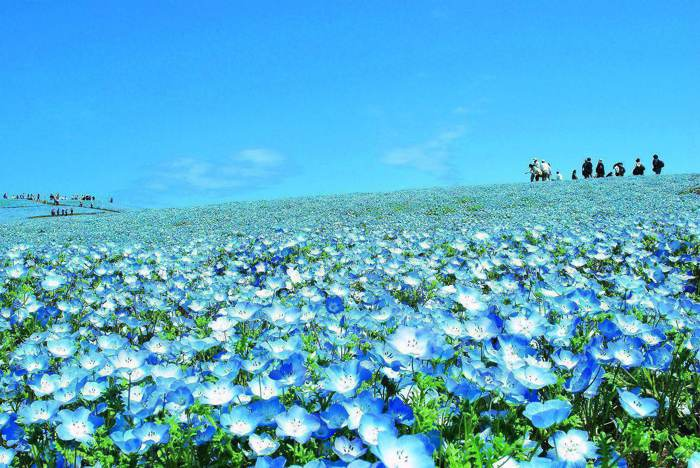 日本關東花見之旅