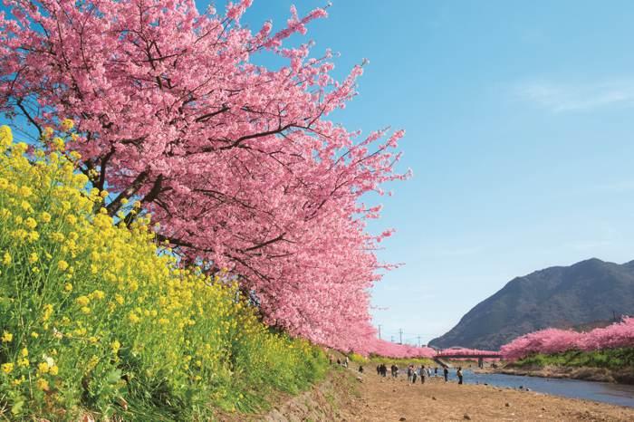 河津櫻祭。浪漫伊豆  最早櫻花