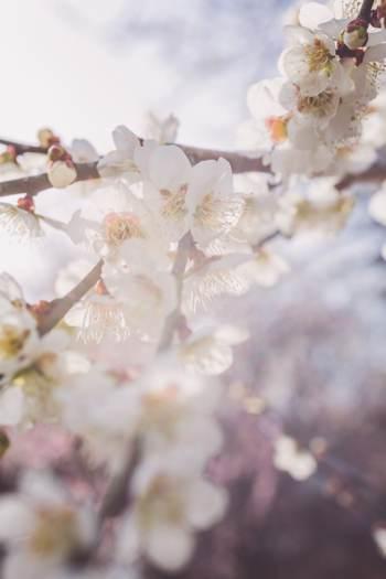 河津櫻祭。日本最早櫻花