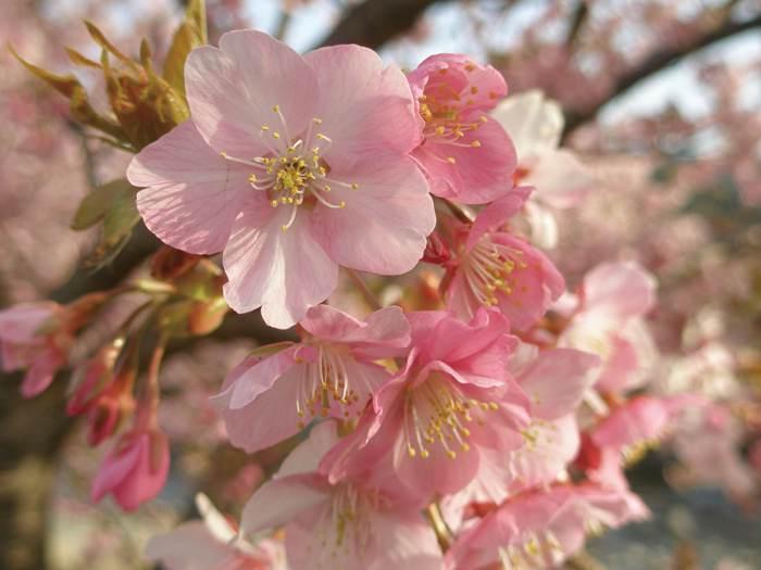 河津櫻祭。日本最早櫻花(好評加開第二梯)