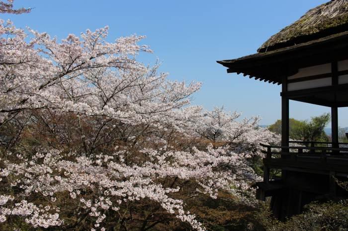 浪漫春櫻賞。在筱山城、琵琶湖和櫻花有約