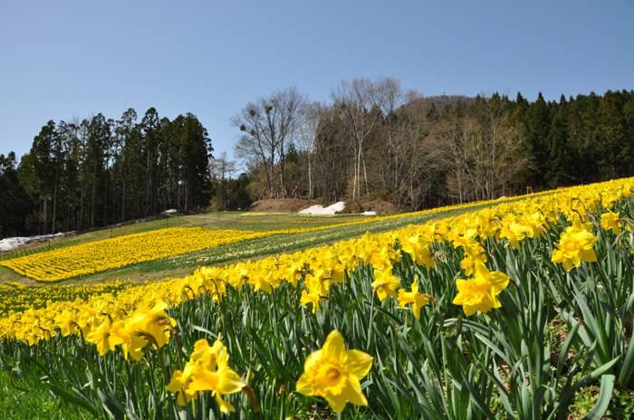 日本關東。花見之旅