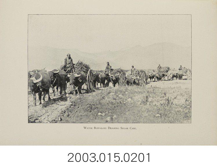 臺灣不產馬匹,因此古早時候的臺灣人如果要出遠門,便以牛車代步。本照片攝於1896...