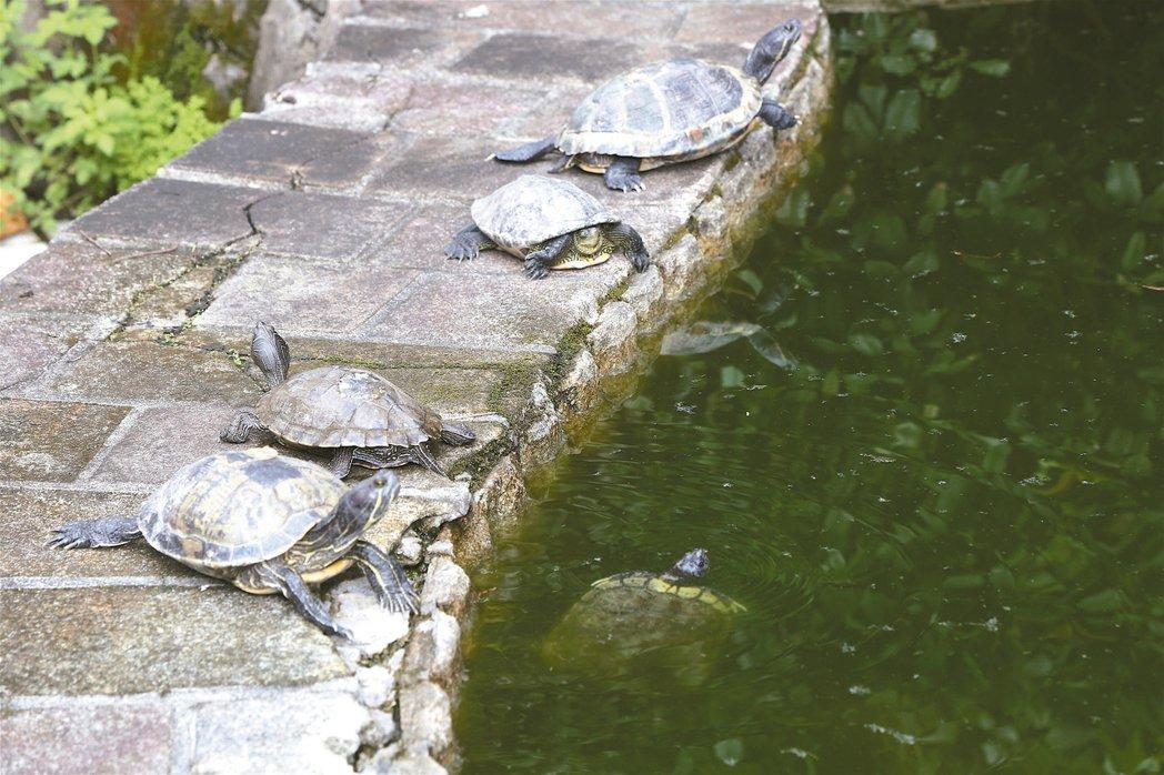 國民黨中央黨部後院水池內放養的烏龜。 本報資料照