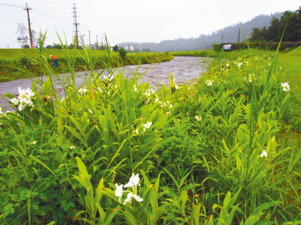 三星鄉安農溪畔野薑花綻放,像極了白蝶穿梭草叢間。 記者吳佩旻/攝影