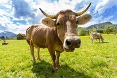 勿飲生牛奶 全球年逾十萬人染結核病