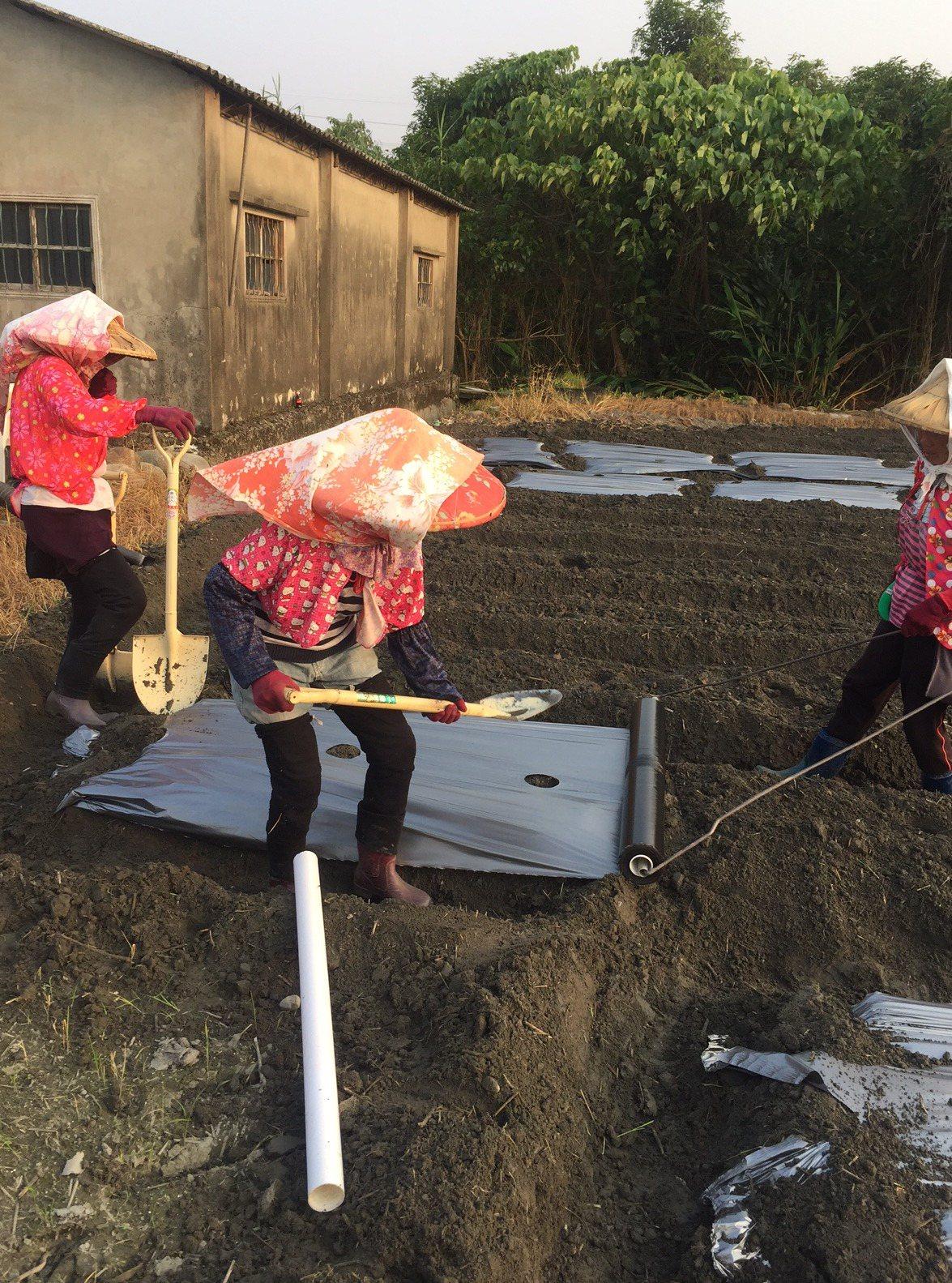 竹山老菸農回顧往日的流金歲月,今天最後一次幫小菸苗搬家了。圖/竹山鎮公所提供
