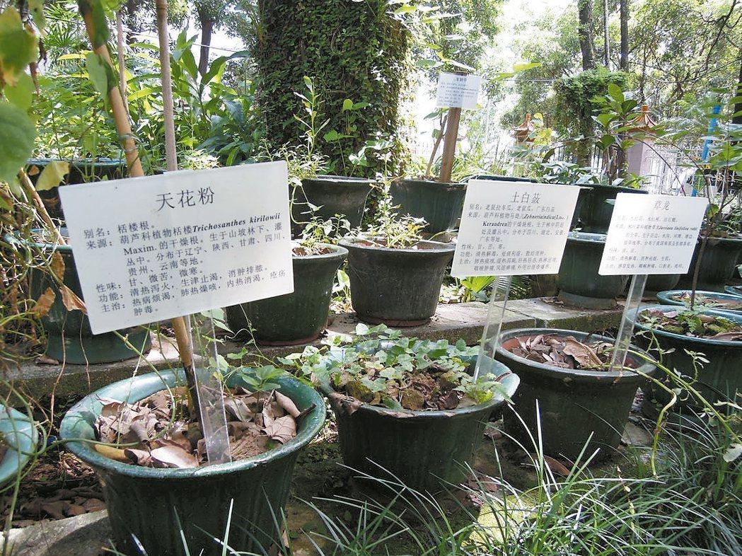 廣州中醫藥大學內獨一無二的「藥圃」,讓學生實地辨識中醫藥材。 特派記者蔡敏姿/攝...