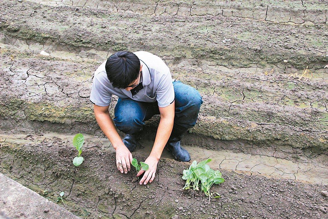 彰化市農民栽種蔬菜以白菜、高麗菜為大宗。 記者林敬/攝影