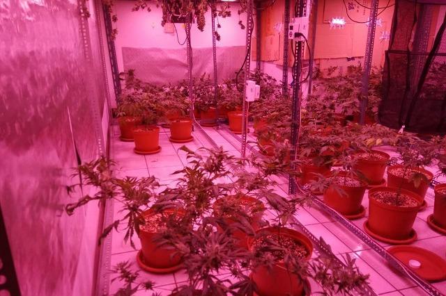 草莓農改種大麻被抓 他辯想用大麻解K毒