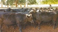 本土肉牛快斷絕! 農委會赴澳洲選「種妃」