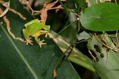 全台半數蛙種都在這! 阿里磅生態農場賞蛙季開跑