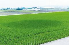 田中出現大圓圈…農改場遭雷擊 「水稻變得像蔥」