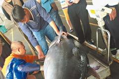 宜蘭捕獲全台第一鮪 重208公斤