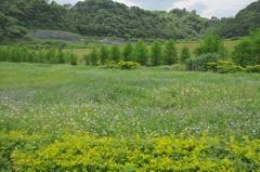 瀕絕綬草如盤龍蔘大量開花 保育人士:莫採摘