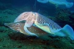 魷魚、透抽、軟絲、花枝不會分? 這特徵是關鍵!