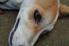 不捨…印尼忠犬護主遭毒死 死前流下眼淚
