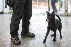 全台第一隻「台灣犬」警犬將誕生 小黑和灣灣特訓中