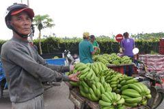 香蕉價格直落至8元 「好人」團購今起出貨護盤