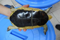 飼養瀕臨絕種射紋龜 保全遭法辦