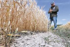 乾旱蔓延 黃豆、小麥、玉米大漲