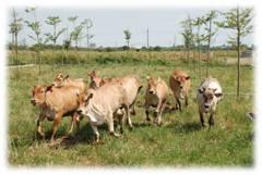 面對進口牛肉 本土牛優勢「生鮮有甜度」